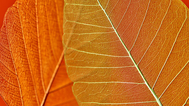 Macro photo of orange leaves with veined pattern. Natural background for layout. Top view