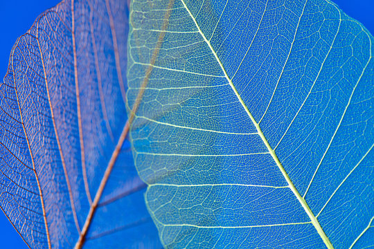 Macro photography of the structure of the leaf on a blue background. Natural background for your creavity.