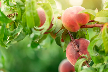 Wall Mural - Peach tree with fruits