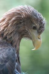 European White-tailed Eagle (Europäischer Seeadler, Haliaeetus albicilla)