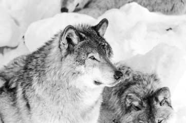 Photo sur Plexiglas Loup Loup Gris