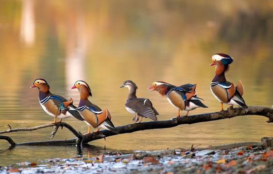 Mandarin Ducks on a branch (4 male and 1 female)