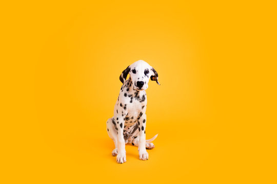 Dalmatian Puppy on Yellow Isolated Background