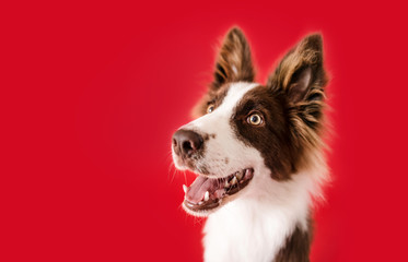 Border Collie Dog on Red Isolated Background
