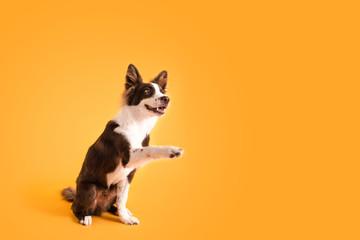 Dog shaking paws
