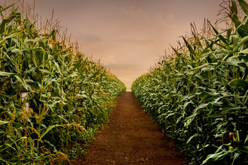 Wall Mural - Rows of fresh corn plants on a field with beautiful warm sunset light and vibrant colors