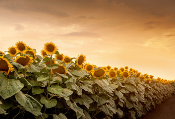 Wall Mural - Beautiful sunflowers in the field natural background, Sunflower blooming