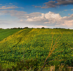 Fototapete - view on sunflower field with cloudly sky
