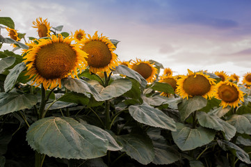 Wall Mural - view on sunflower field with evening sky