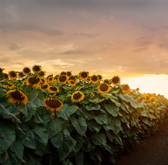 Fototapete - beautiful yellow sunset over sunflower field. Landscape, wide view.