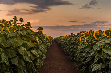 Wall Mural - Rows of sunflowers on a field with beautiful warm sunset light and vibrant colors