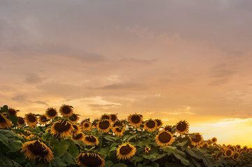 Wall Mural - beautiful yellow sunset sky over sunflower field.