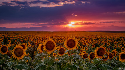 Colorado Sunflower Fields on the eastern plains near DIA Fototapete