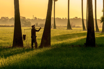 Asian men indonisia farmer working in the rice firld. keep tan palm sugar bear a lot  in the morning is sunrise.