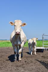 Fototapete - Muttertierhaltung - Helle Kuh mit Kalb auf einer Frühlingswiese