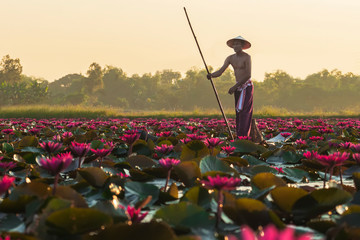 The Asian men villagers are on a wooden boat. Fishing in red lotus pond The fishing equipment is fish.. Wall mural