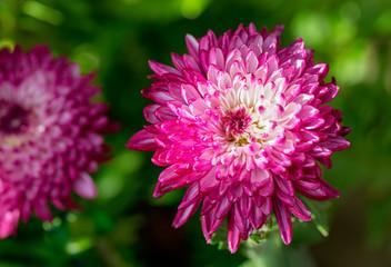 Chrysanthemum Eureka