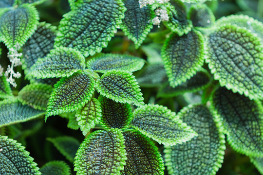 green leaves of pilea spruceana friendship plant structure