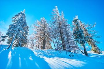 Trees in ice glaze coat, Zwolferhorn, St Gilgen, Salzkammergut, Austria