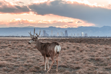Papiers peints Antilope Deer against a background of Denver skyline