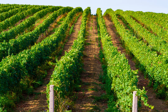 Vineyard with growing wine grapes on Italian hills, Italy
