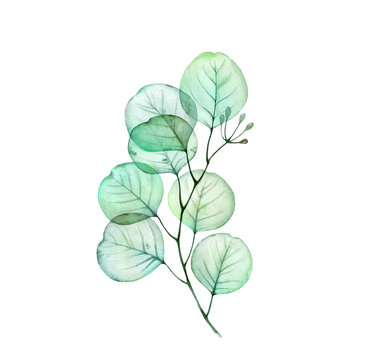 Watercolor Transparent Eucalyptus branch. Hand drawn botanical illustration isolated on white. Realistic floral design element for wedding stationery