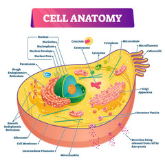 Cell anatomy vector illustration. Labeled educational structure diagram.