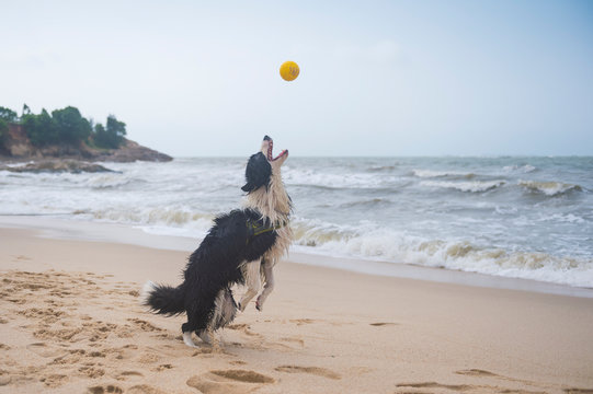 Shepherd dog playing at the beach