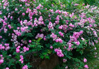 beautiful large rose bush blooming