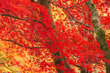 Foto op Plexiglas Rood Beautiful colorful vibrant red and yellow Japanese Maple trees in Autumn Fall forest woodland landscape detail in English countryside