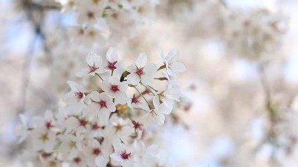 Wall Mural - cherry blossom with soft wind is blowing, flower background.