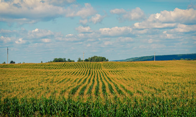 Wall Murals Vineyard the cornfield,captured on an August day in Chuvash Republic in Russia