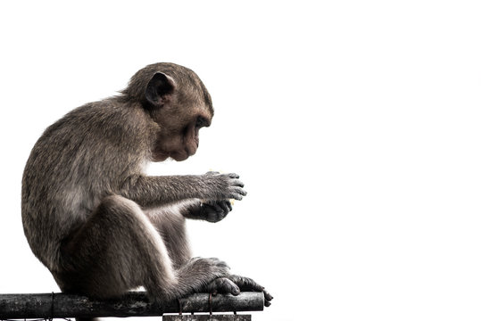 The monkey is sitting and eating food on the iron rail isolated on white background.