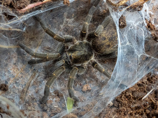 Baboon Spider (Tarantula) from South Africa