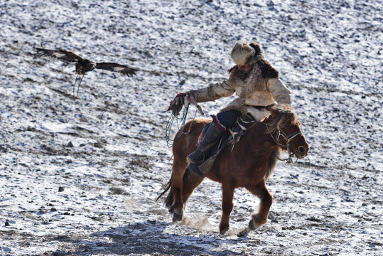 golden eagle in western mongolia flying and training to catch prey during the golden eagle festival