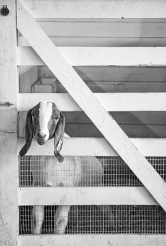Original black and white photograph of a goat looking out of it's pen at the county fair