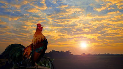 Beautiful cock crowing.