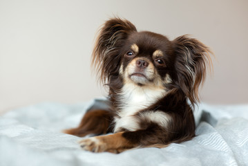 adorable chihuahua dog lying on a bed indoors