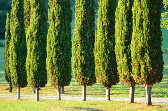 cupressus sempervirens the mediterranean italian cypress