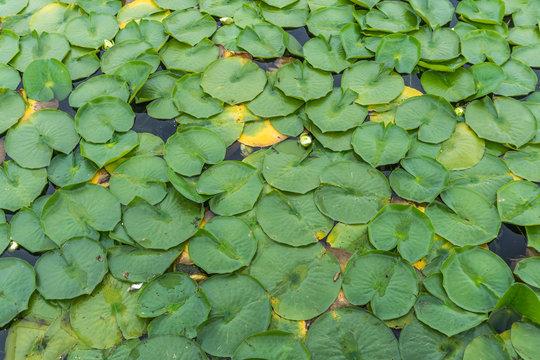 Arboretum Lily Pads Close-up 2