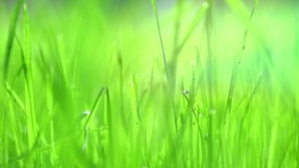 Fotoväggar - Grass lawn closeup. Blurred fresh soft grass background. Environment. Gardening concept. Slow motion 4K UHD video footage. 3840X2160