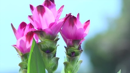 Fotoväggar - Curcuma plant blooming outdoors. Flowers of growing Turmeric plant spice. Indian spices. Siam tulip, Alismatifolia flower, dok krachiao. Slow motion 4K UHD video footage. 3840X2160