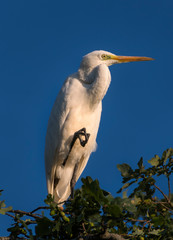 Great Egret perched on tree