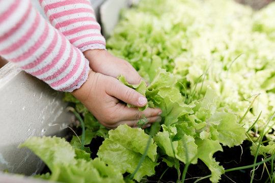 Close-up of girl's hands touching lettuce in a raised bed