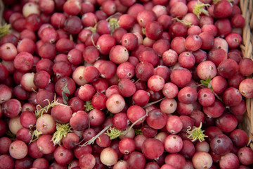 Cranberry background.Unripe cranberries close-up