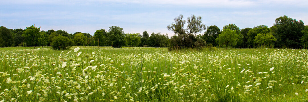 Panorama of a field of Queen Anne's Lace wildflowers in Lakewood Forest Preserve in Lake County, Illinois