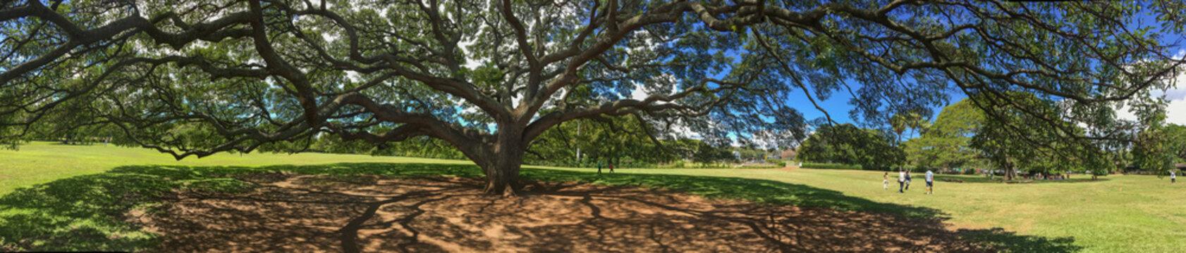 Giant Monkey Pod tree Panorama