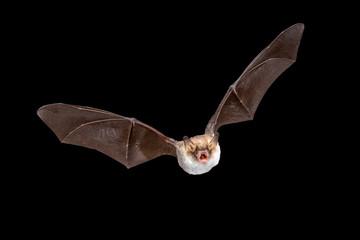 Flying Natterers bat isolated on black background