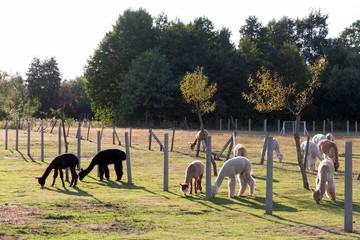 Fototapete - Cute alpacas on the farm