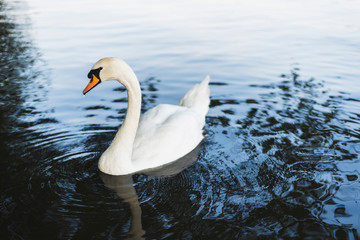 Photo sur Aluminium Cygne A swan swimming in the lake.